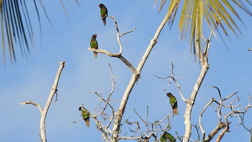 Group of Yellow streaked lory on a dead tree, in wasur national park, Papua, indonesia | Shutterstock HD Video #1023490417