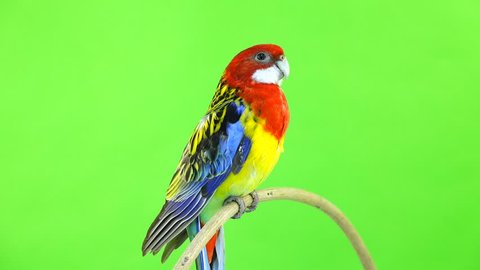 Rosella parrot rotates along the camera isolated on green screen