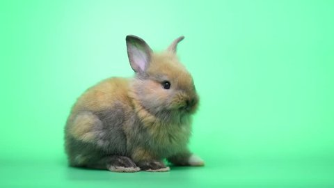 Cute little brown bunny rabbit show unstable stand and try to stand on green screen background