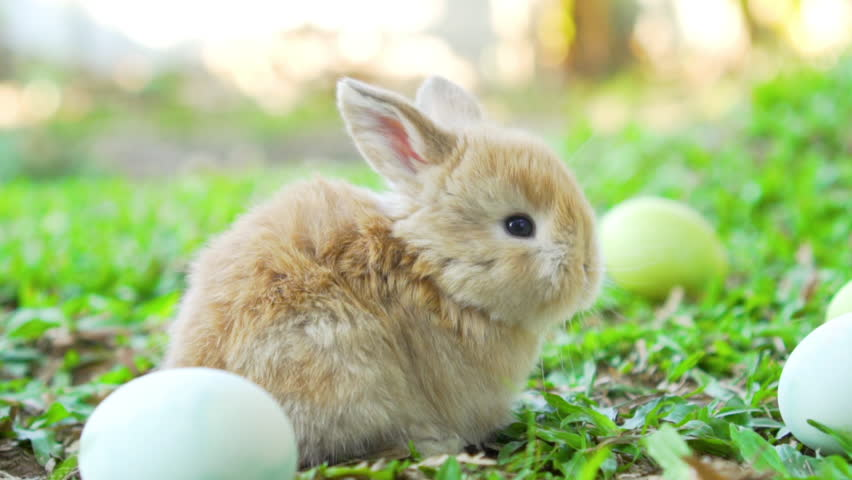 Adorable little brown easter bunnies holland lop, siting near Easter eggs. Close up shot, slow motion | Shutterstock HD Video #1023788737