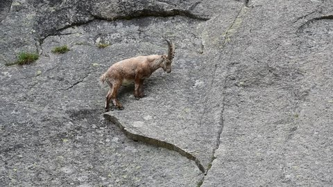 Alpine ibex (Capra ibex) traversing cliff face on narrow rock ledges in the Alps in spring