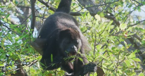 4K Wild Howler Monkeys Foraging Leaves in a Costa Rica Rainforest. Cinematic footage.