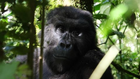 Close-up of the face of a female mountain gorilla (Gorilla beringei beringei) in Bwindi Impenetrable National Park, Uganda. This gorilla is part of the Katwe group. 4K.