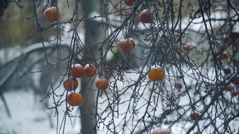 Light snow falling on the branches with red apples fruit still on tree with frost against white snowy background. Frozen apples in hoarfrost are hanging on a tree in the garden.