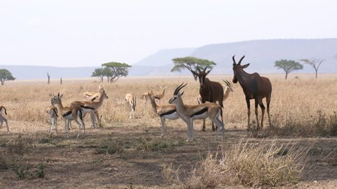 Group of Antelopes and Impala together. Serengeti, Tanzania, Africa. Stable footage
