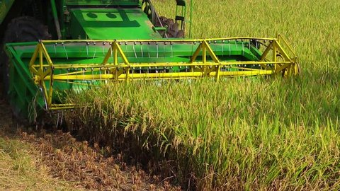harvesting of paddy crops in the agriculture land of Tamilnadu , India