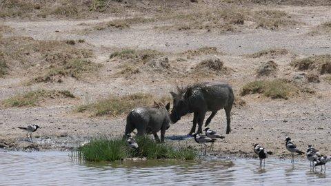 two warthogs fighting. Tanzania, Africa