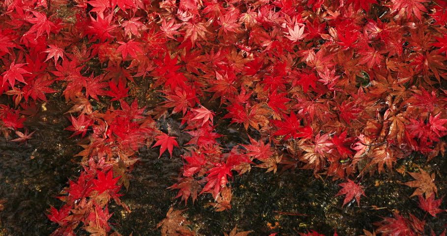 Red leaves in the brook at Enkouji temple. It's in autumn. Sakyo-ku Kyoto Japan - 11.30.2018 : It s red leaves at Japanese temple in autumn.   | Shutterstock HD Video #1024137047