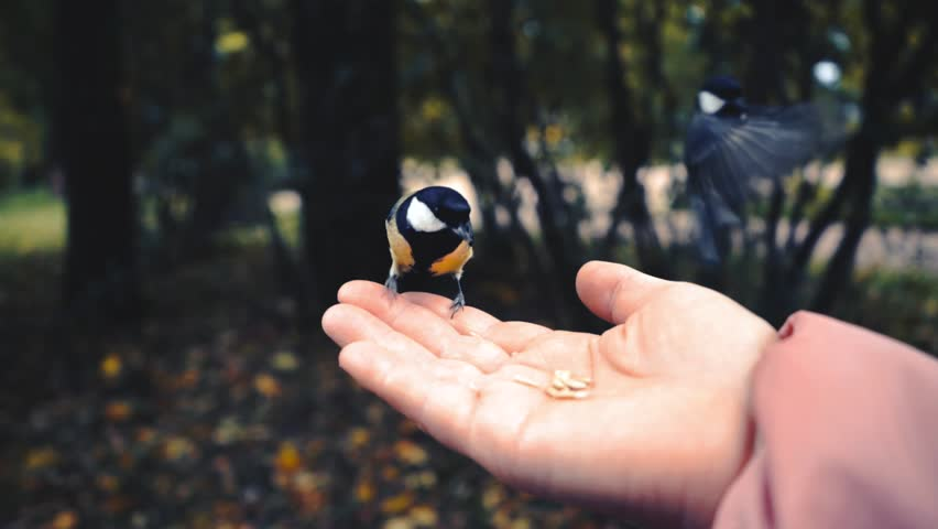Feeding birds with hands. Great Tit eats seeds in the forest in the lake or in the river. Beautiful Wildlife. | Shutterstock HD Video #1024356407