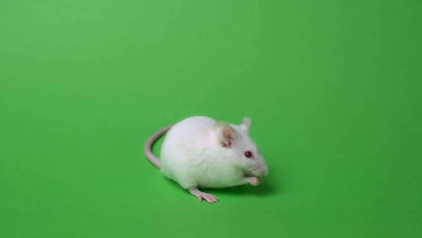 white home mouse on a green background. Lab mouse cleaned and sniffed #1024417697