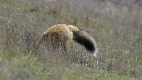 Close-Up: Fox Digging Dirt in Wild Grassy and Hay-Filled Meadow