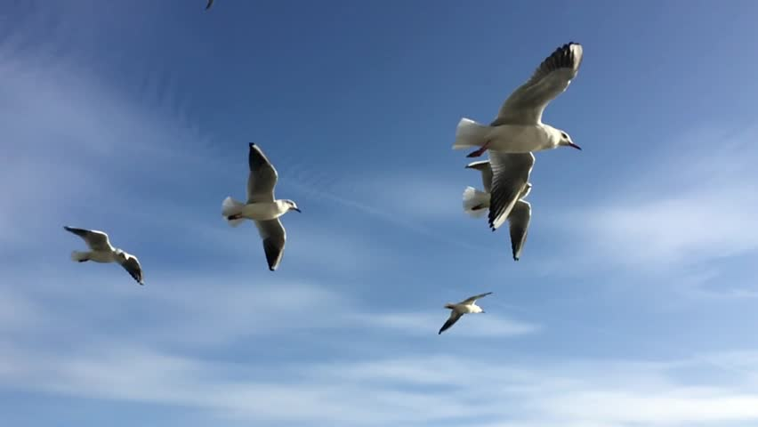 Seagulls flying against the blue sky. Flock of birds flies in strong winds. Slow motion. Closeup video. | Shutterstock HD Video #1024659407