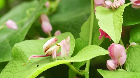 Pink orchid mantis on green leaf, Thailand.