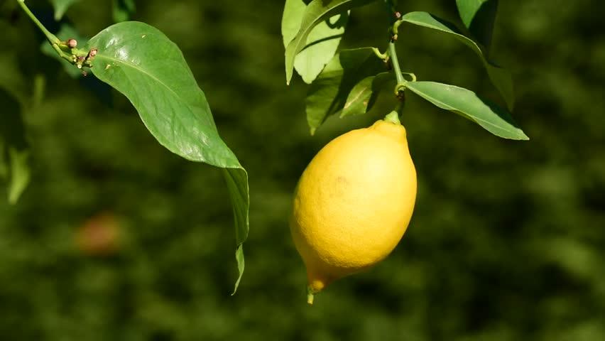 долгие лимоны крупные на ветке фото встретится