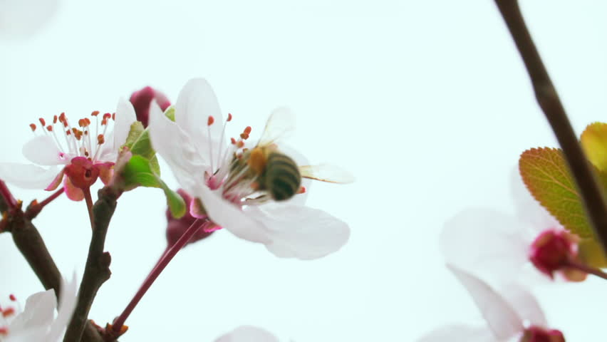 Slow motion close up of honey bee on plum flower collect nectar in the spring field