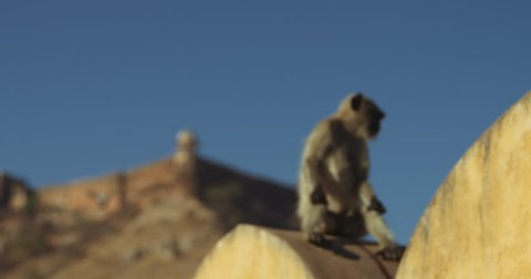 Langur monkey sitting on a wall at Amer Fort in Jaipur.