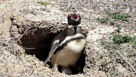 Magellanic penguin inside the nest at Punta Tombo natural reserve, Chubut province, Argentina, Full HD shot