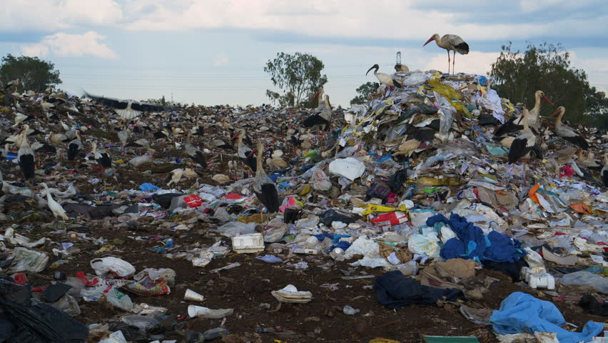 4K close-up view of European Storks and cattle egrets scavenging for food on landfill dump site | Shutterstock HD Video #1025455877