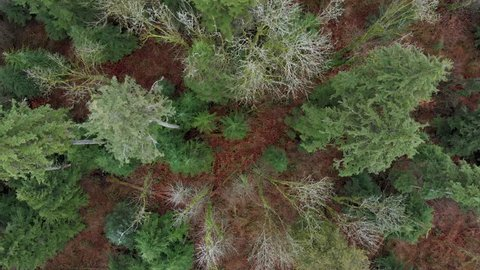 A rotating top down view of evergreen trees and the forest floor.