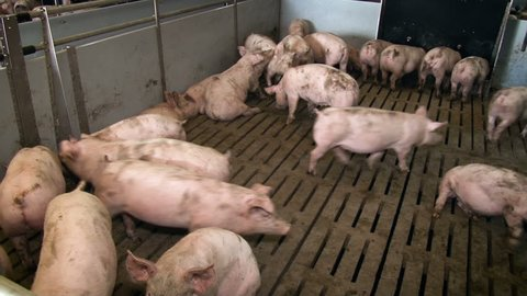 Many pigs rest in the pounds. Livestock farm. Meat production