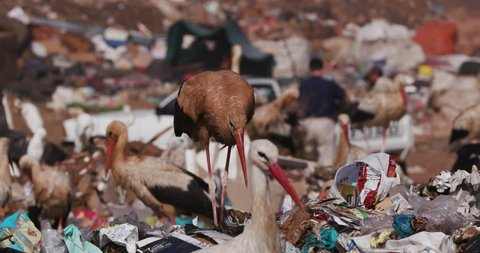 4K close-up view of a very dirty European White Stork scavenging for food on a landfill dump site