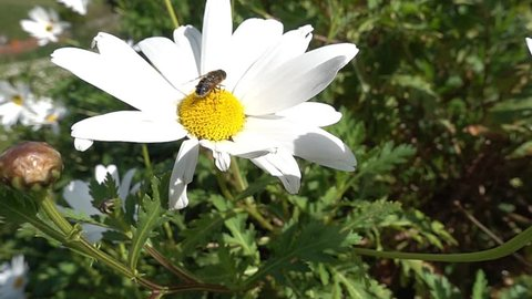 A bee perched on the flower of a giant marguerite flies away