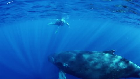Giant Humpback Whales, megaptera novaeangliae mother and young calf in south pacific ocean in blue sea water swim around divers on background on surface of sun. Amazing unique underwater shooting.