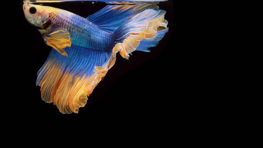Super slow motion of Siamese fighting fish (Betta splendens), well known name is Plakat Thai, Betta is a species in the gourami family, which is a popular fish in the aquarium trade | Shutterstock HD Video #1025763257