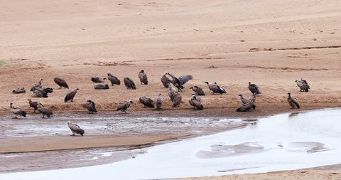 """bird """"council of vultures"""" at the water's edge, kruger park, south africa"""