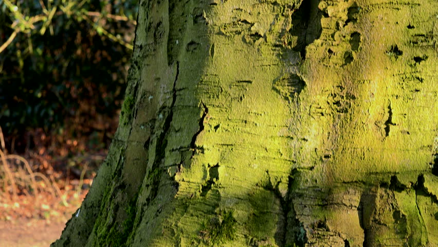 Large Beech tree panning upwards background texture UK 4K | Shutterstock HD Video #1025849567