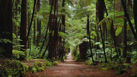 Loopable footage taken outside of Rotarua in New Zealand of a rainforest and Redwood trees.
