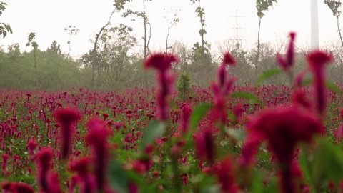 A field of red bloomed cockscomb flower with camera panning.