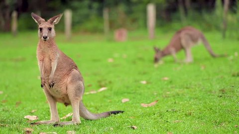 Red Australian adult Kangaroo eating grass. Kangaroo grazing on green landscape, with another kangaroo in the background
