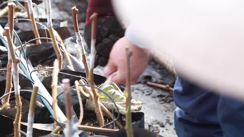 Graft mooring, agronomy | Shutterstock HD Video #1025950547