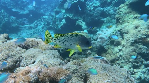 Small school of Oblique-banded Sweetlips on the great barrier reef. POV swim approaching them.