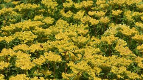 Different insects flying over Orange stonecrop(Sedum kamtschaticum) flowers