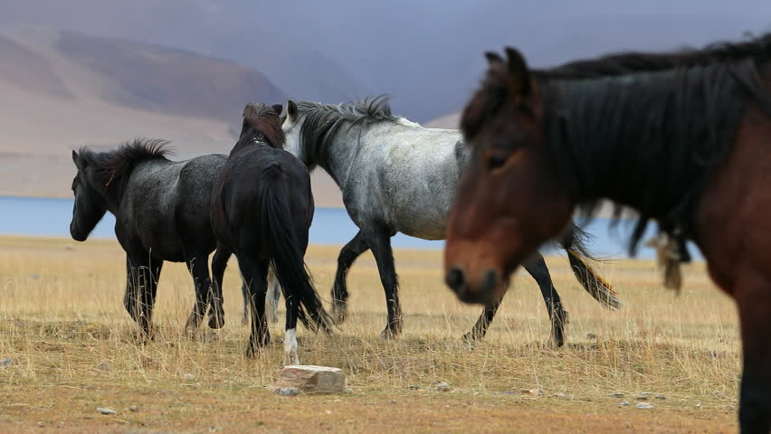 Horses Near Tso Moriri Lake In Ladakh, Himalaya, Northern India Countryside #1026047597