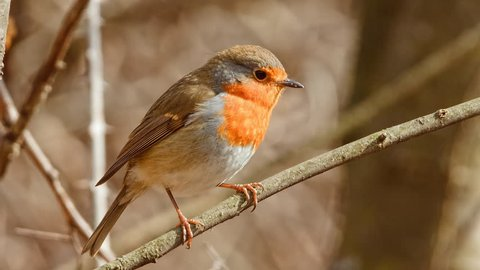 Close up view of European Robin (Erithacus rubecula) in early spring.