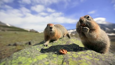 Closeup of ground squirrels couple eating the nuts. The prairie dogs are chewing while watching directly into the camera attentively.  Sunny summer day. Wildlife of Alaska region, America.
