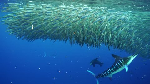 Striped marlin and California sea lions attack a large mackerel bait ball off the Pacific coast of Baja California Sur, near Magdalena Bay, Mexico.