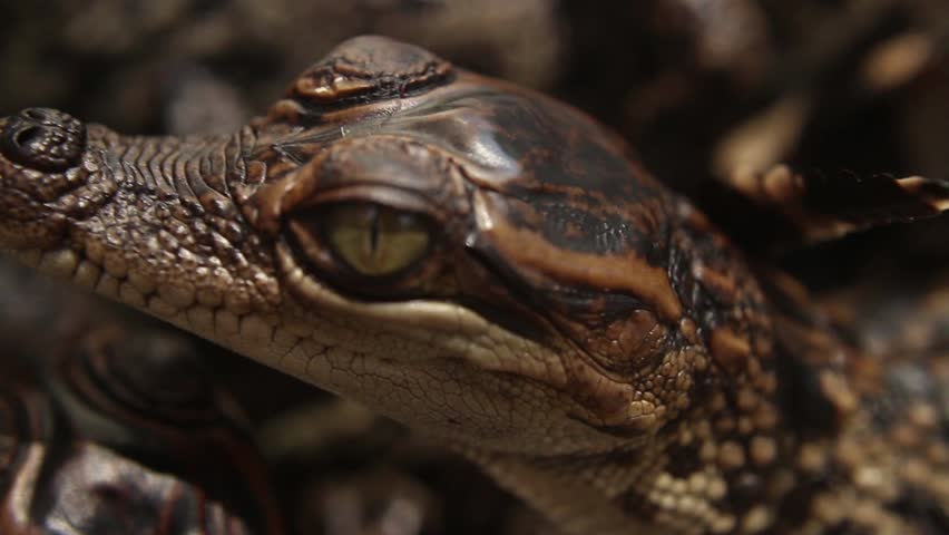 Young Baby Crocodile close-up image - Free stock photo ...