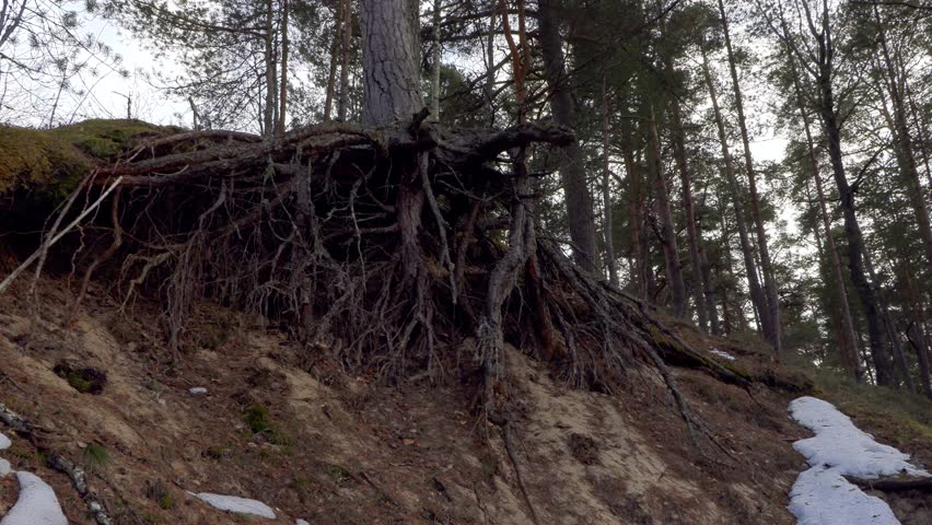 pine tree roots in the forest