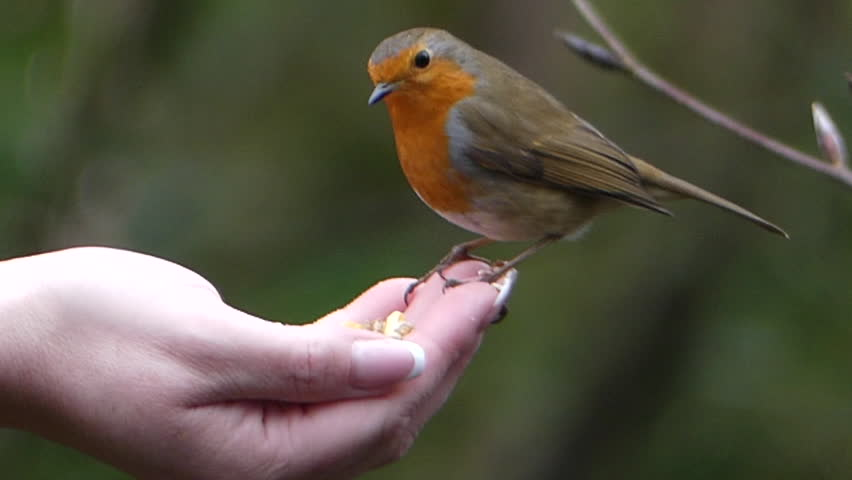 Erithacus rubecula perched on a hand and eating | Shutterstock HD Video #1026372467