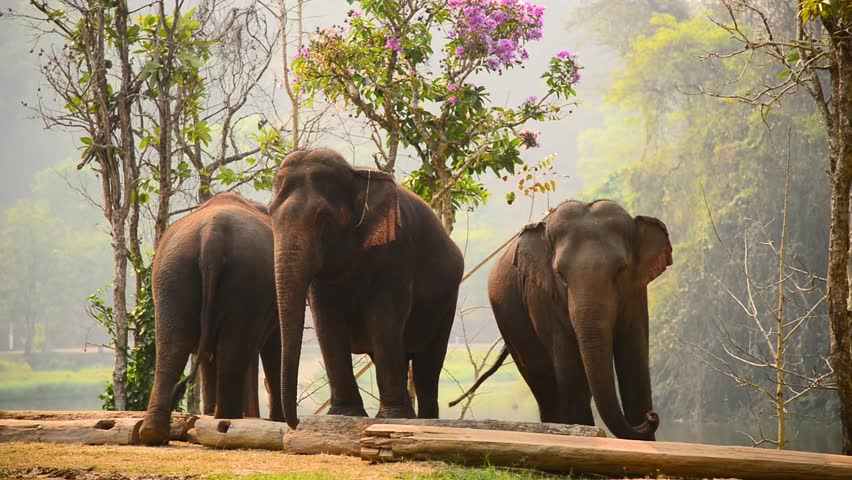 Lampang, elephant,Thailand -Group of elephant eating fruit in national Thai elephant day at The Thai Elephant Conservation Center Lampang, Hang Chat, Lampang, Thailand | Shutterstock HD Video #1026420047