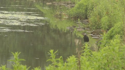 Coot standing in shallow water preening