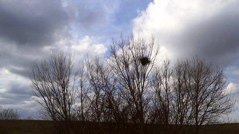 poplar tree in bird's nest,bird's nest on tree, natural bird's nest,
