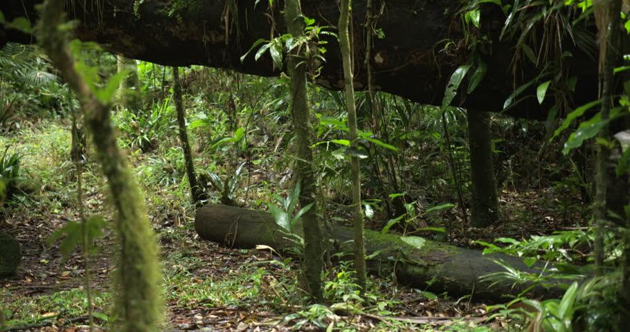 Jungle flora growing on top of fallen log, deep in the Atlantic forest,Serra do Mar State Park,São Paulo State,Brazil. | Shutterstock HD Video #1026790217