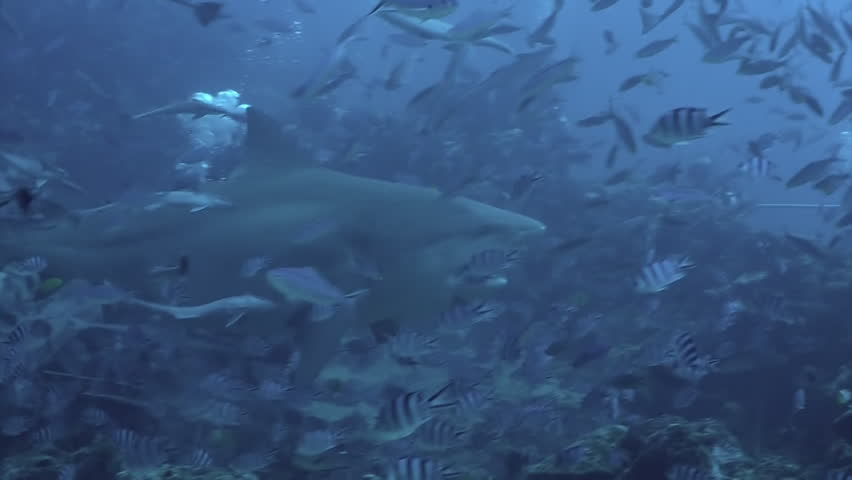 Close-up gray bull shark eats fish near divers underwater ocean of Tonga. Divers feed school of sharks Carcharhinus leucas in underwater marine wildlife of Pacific Ocean. #1026851087