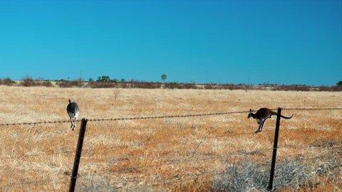 Jumping kangaroos outback Australia.