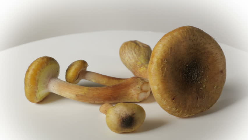 Group of honey mushrooms, in rotation on a white background.